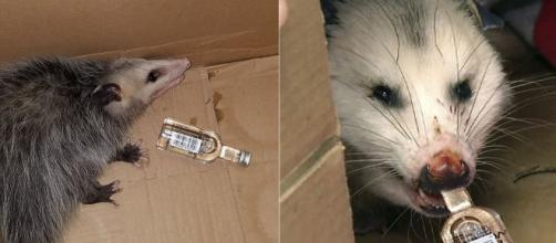 Opossum breaks into a liquor store and drinks a whole bottle of bourbon. Image Credit: Own work