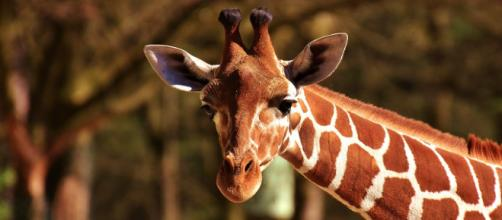 The giraffe exhibits are safe, confirms Brights Zoo. [Image Credit: Pixabay]