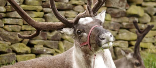 Reindeer - Image courtesy L0nd0ner on Pixabay