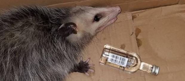 Gambá ''bêbado'' precisou ser socorrido por centro de resgate animal. Foto: Emerald Coast Wildlife Refuge/Facebook
