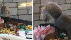 Hilarious Squirrel Caught Stealing Holiday Treats