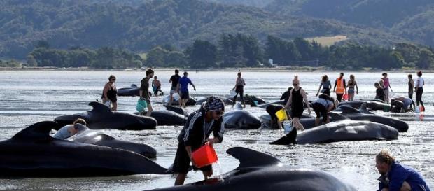 Maior encalhe de baleias na Nova Zelândia desde 1985. Crédito: Euronews