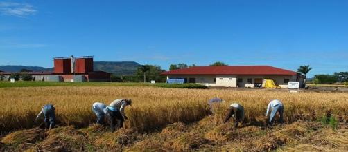 Siembras de arroz exigen nuevos procesos tecnológicos