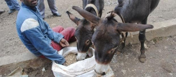 Donkeys are endangered in many country for their skins - voanews.com