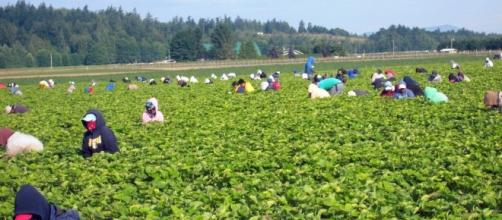Farmers fear illegal-labor crackdown | The Columbian - columbian.com
