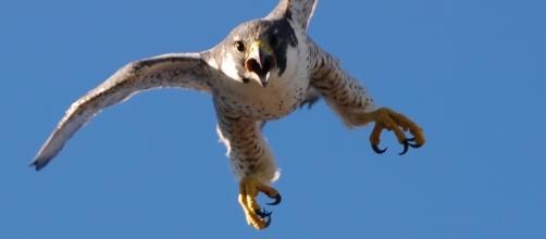 FalcoPellegrino (Falco peregrinus) - falconeria.org