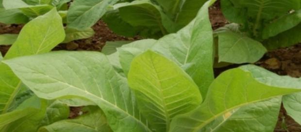 Imagem da folha do tabaco que em breve deverá ser usada no tratamento contra o câncer
