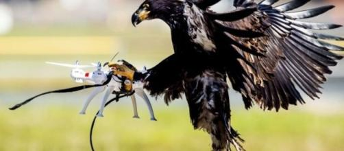 Eagles trained to take down drones - BBC News - bbc.com