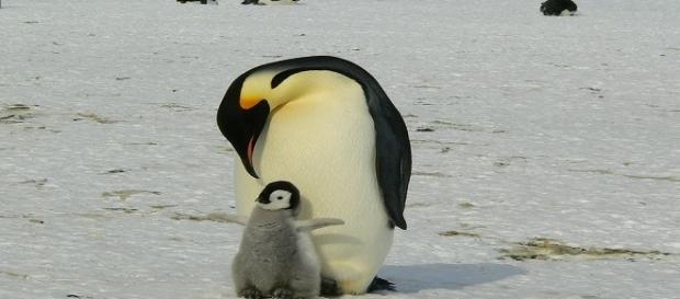 Polo Sud: Dafna Ben Nun e i pinguini imperatore