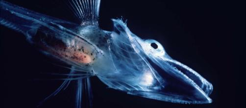 Understanding life on the ocean floor still remains an immense challenge / Photo via https://upload.wikimedia.org/wikipedia/commons/5/54/Icefishuk.jpg