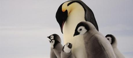 Emperor Penguins, Emperor Penguin Pictures, Emperor Penguin Facts ... - nationalgeographic.com