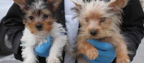 Two of the 46 Yorkies rescued after being found crowded into a motorhome. -- Photo from, used with permission of San Diego Humane Society