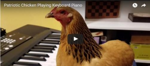 A galinha que toca teclado(Fonte: http://www.huffpostbrasil.com/entry/chicken-america-the-beautiful_us_58935dd8e4b0af07cb6be863)