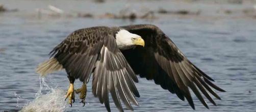 Eagles Across America | National Wildlife Refuge System - fws.gov