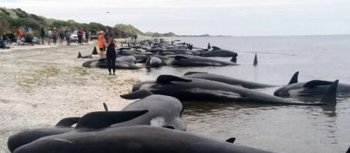 New Zealanders race to save whales after 400 stranded | timesfreepress.com