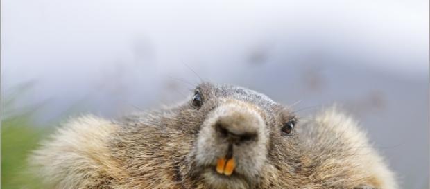 täglich grüßt das Murmeltier Foto & Bild | Natur, Säugetiere ... - fotocommunity.de