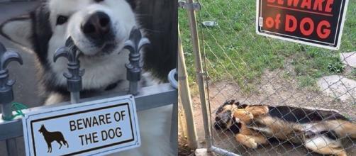 Esses cachorrinhos não sabem o que significa a placa ''Cuidado com o Cão''. Reprodução: Twitter.