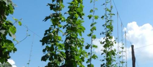 Local Beer Blog: A Hops Industry Grows in North Carolina - localbeerblog.com