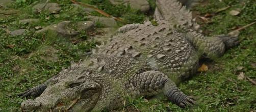 1000+ ideas about American Crocodile on Pinterest | Nile crocodile ... - pinterest.com