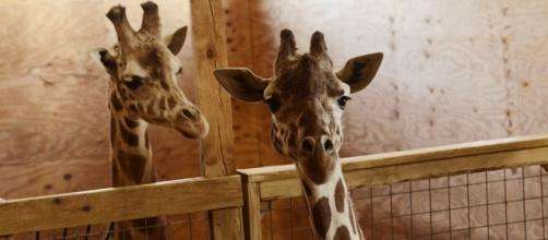 April the giraffe 'very active' as she gets ready to give birth ... - startribune.com