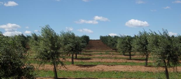 Una distesa di ulivi tra le campagne Salentine