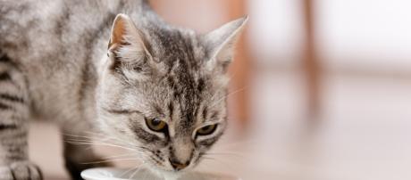 Os gatos são animais muito sensíveis e deve-se ter cuidado com a alimentação