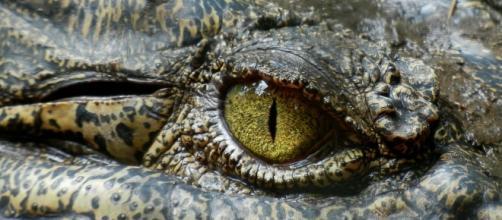 Crocodile/Photo via Pixabay, public domain