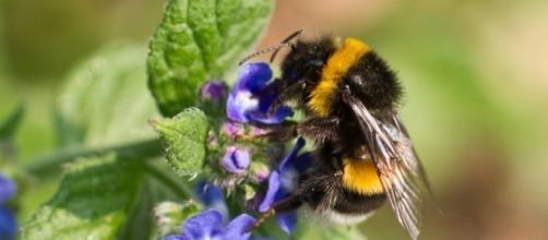 Climate Change Is Shrinking Bumblebee Habitats, New Study Warns ... - civileats.com