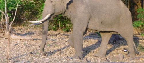 Elephant Tusker/Photo by Rajesh Balakrishnan via Flickr, CC BY-SA 2.0/www.flickr.com/photos/rajesh_balakrishnan/446047346