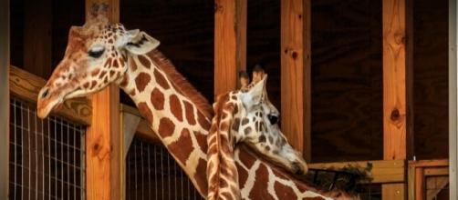Watch Giraffe Cam Live Stream Online, Animal Park Says Birth Is ... - inquisitr.com