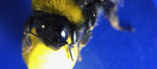 Gooooal! Bumblebees Learn to Play Soccer - D-brief - discovermagazine.com
