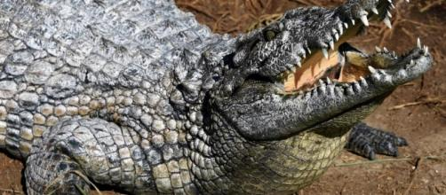 Australia, coccodrillo azzanna 18enne: Lee rischia di perdere il braccio