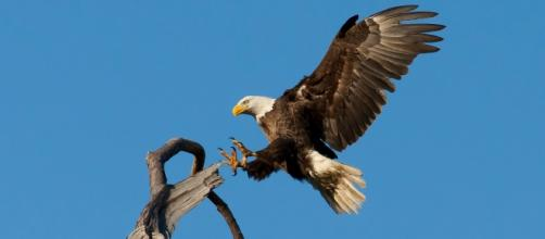 The iconic eagle's largest threat: wind farms. skeeze/Pixabay