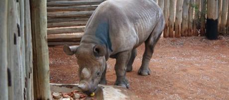 Rhino under threat as poaching becomes danger