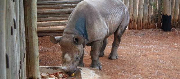 Rhino under threat as poaching becomes danger