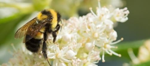 A Ghost in the Making: Photographing the Rusty-patched Bumble Bee ... - nationalgeographic.com