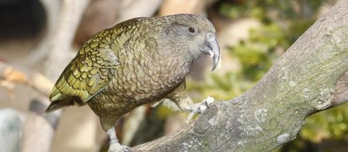 Kea's really know how to spread the joy! / Photo via Parrots make each other laugh, at least kea birds in New Zealand ... - wsbradio.com