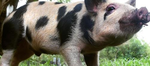 Bentley the pig needs a home after he was surrendered to RSPCA ... - com.au