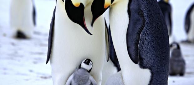 """O comportamento homossexual existe em diversas espécies e há muitos casos de casais de aves """"gays"""" que adotam ovos, chocando-os e criando os filhotes."""