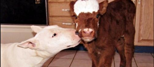 Saved From Auction, Mini Baby Cow Is Now Just One Of The Dogs ... - theanimalrescuesite.com