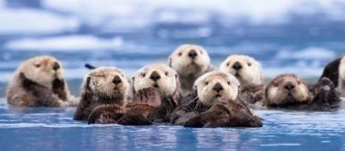 The Effort To Re Introduce Sea Otters To Southern California ... - mountainandsea.org