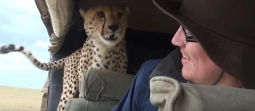 Il ghepardo sale sull'auto dei turisti (foto da Youtube @TheFlippinDeal)