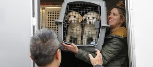 46 dogs, saved from slaughter, arrive in N.Y. from South Korea ... - columbian.com