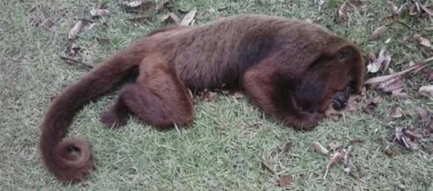 Macaco é achado morto em Campos/RJ