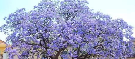 "San Luis planta ""Kiri"" el árbol que salvara al mu - Taringa! - taringa.net"