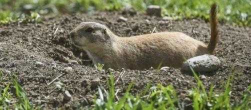 Intersection project threatens prairie dog colony - coloradoan.com