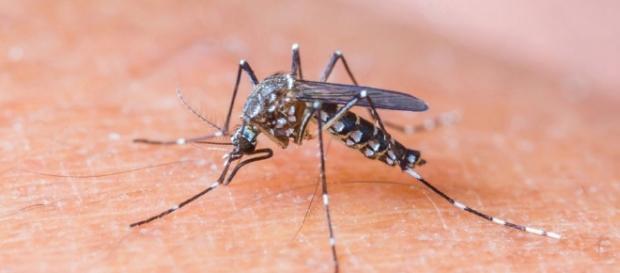 Imagem do mosquito causador da Zika.
