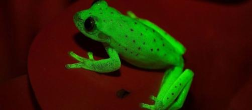 Meet the fluorescent frog: A new species found in Argentina - pulseheadlines.com