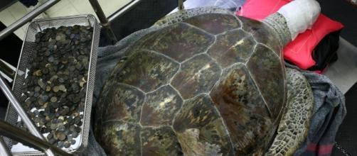 Tartaruga acumulou mais de 1000 reais no estômago (Foto: globo.com)