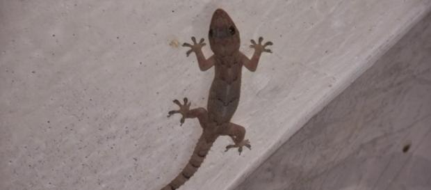Justiça de SC diz que 'lagartixa tem o direito de circular nas paredes'; entenda